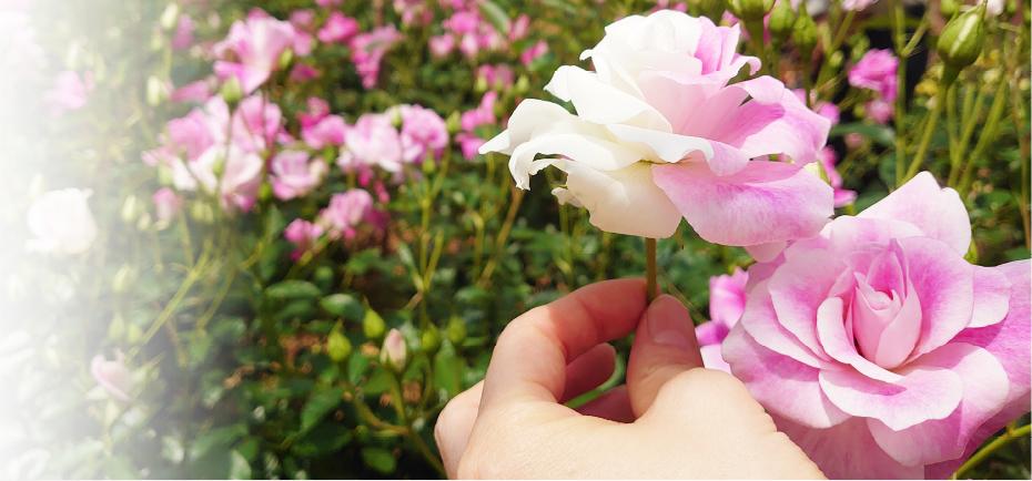 無農薬の「生バラ」